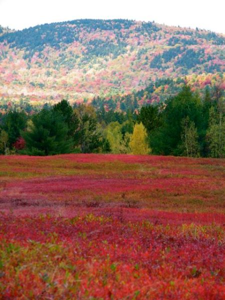 Blueberry barrens, Deblois, Maine, in October.
